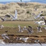Iceland Gull Lossie estuary 18 Feb 2015 Richard Somers Cocks 2
