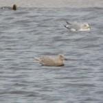 Iceland Gull Lossie estuary 22 Dec 2014 Duncan Gibson