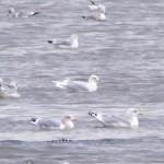 Iceland Gull Lossie estuary 22 Nov 2014 Richard Somers Cocks