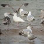 Iceland Gull Lossie estuary 4 June 2014 Duncan Gibson