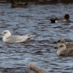 Iceland Gull Lossie estuary 5 Mar 2017 David Main P