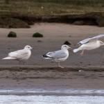 Iceland Gull Lossie estuary 7 Dec 2015 David Main 1