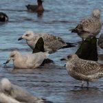 Iceland Gull Lossie estuary 7 Mar 2017 David Main