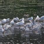 Iceland Gull adult Loch Oire 1 Feb 2013 Tony Backx