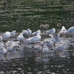 Iceland Gull adult Loch Oire 1 Feb 2013 Tony Backx1