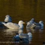 Iceland Gull adult Loch Oire 13 Mar 2013 David Devonport 1
