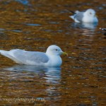 Iceland Gull adult Loch Oire 13 Mar 2013 David Devonport 2