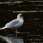 Iceland Gull adult Loch Oire 31 Jan 2013 David Devonport