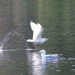 Iceland Gull with Colour Ring Loch Oire 30 Apr 2013 Tony Backx