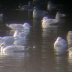 Iceland Gulls 2 ads Loch Oire 9 Feb 2013 Bob Proctor