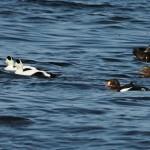 King Eider Burghead Bay 10 Oct 2014 Martin Cook 1