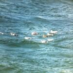 King Eider Burghead Bay 26 Sept 2014 Duncan Halpin 2