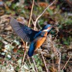 Kingfisher Forres 12 Feb 2018 Gordon Biggs