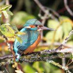 Kingfisher Forres 13 Feb 2018 Gordon Biggs