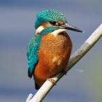 Kingfisher Loch Spynie 21 Aug 2013 Tony Backx 1