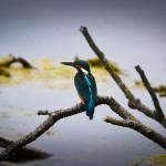 Kingfisher Loch Spynie 4 Aug 2015 Lenny Simpson