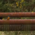 Kingfisher Lossie estuary 25 Jan 2015 David Main