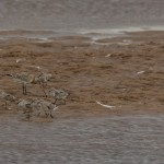 Knot with Bar tailed Godwit Lossie estuary 31 Oct 2015 David Main