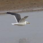 Lesser Black backed Gull Lossie estuary 17 Mar 2015 Tony Backx