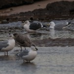 Lesser Black backed Gull Lossie estuary 20 January 2015 David Main