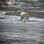 Lesser Black backed Gull Lossie estuary 22 Nov 2014 Martin Cook