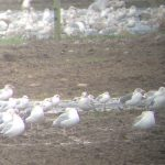 Lesser Black backed Gulls 9 Dec 2017 Bob Proctor