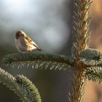 Lesser Redpoll Elchies Forest 13 May 2015 David Main