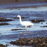 Little Egret Findhorn Bay 20 Jun 2017 Richard Somers Cocks 1