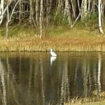Little Egret near Nairn 10 Feb 2014 Mike McInnes 1