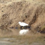 Little Egret near Nairn 6 Feb 2014 Jon Clarke