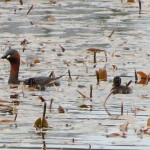 Little Grebe family Loch of Blairs 3 June Alison Ritchie