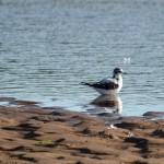 Little Gull 1stW Lossie estuary 26 Sept 2013 David Main