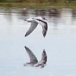 Little Gull 1stW Lossie estuary 4 Oct 2013 Gordon Biggs 4