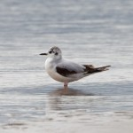 Little Gull Findhorn Bay 4 June 2014 Richard Somers Cocks