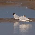 Little Gull Lossie estuary 14 Jul 2015 David Main 2