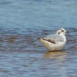 Little Gull Lossie estuary 21 July 2014 David Main