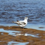 Little Gull Lossie estuary 24 June 2014 Gordon Biggs