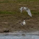 Little Gull Lossie estuary 6 July 2014 David Main 1