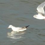 Little Gull Lossiemouth 2 Feb 2014 Bob Proctor