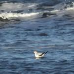Little Gull Lossiemouth 25 Jan 2014 Martin Cook 2