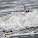 Little Gull Lossiemouth 27 Jan 2014 Gordon Biggs 1