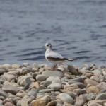 Little Gull Tugnet 16 May 2014 Richard Somers Cocks 1