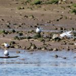 Little Terns Spey estuary 4 May 2017 Martin Cook