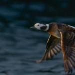 Long Tailed Duck Burghead 21 Jan 2014 David Main
