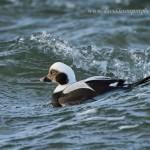 Long Tailed Duck Clangula hyemalis drake Burghead 30 Dec 2012 David Devonport