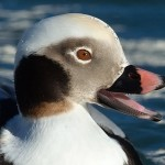 Long tailed Duck Burghead 16 Feb 2014 Mark Ranner
