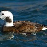 Long tailed Duck Burghead 16 Feb 2014 Mark Ranner 2