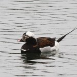 Long tailed Duck Burghead 3 Apr 2015 Bob Johnson