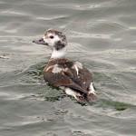 Long tailed Duck Burghead 7 Dec 2013 Gordon Biggs