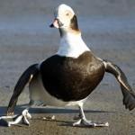Long tailed Duck Burghead harbour 2 Feb 2014 Gordon Biggs 1